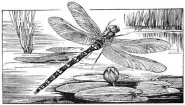 Dragonfly_illo