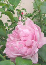 Mackintosh_rose