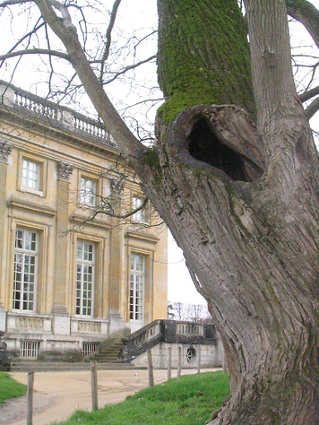 Tree_versailles_2